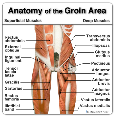 Groin anatomy and the Hip Adductor muscles